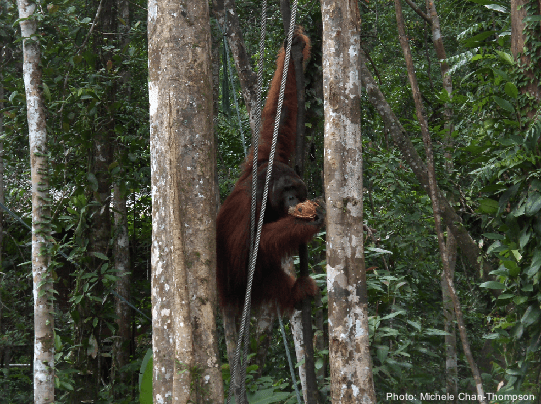 orangutangs in borneo