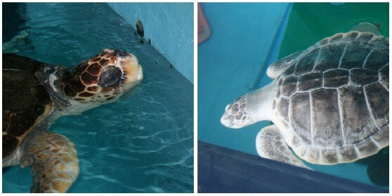 Florida Aquariums include Mote Aquarium's turtles