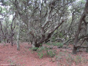 Eerie live oaks at pine island preserve, outer banks