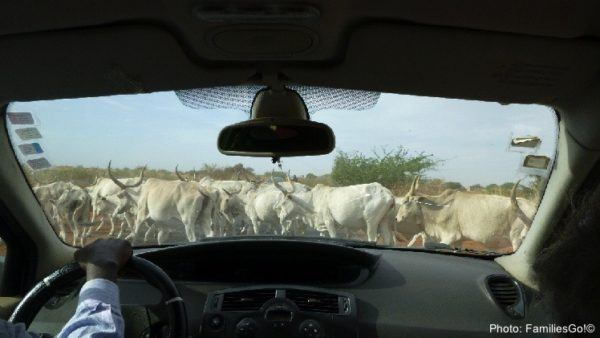 Cows blocking traffic in senegal, africa