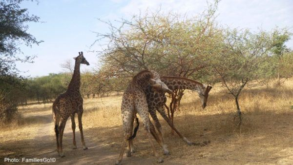 A group of giraffes at bandia reserve in senegal