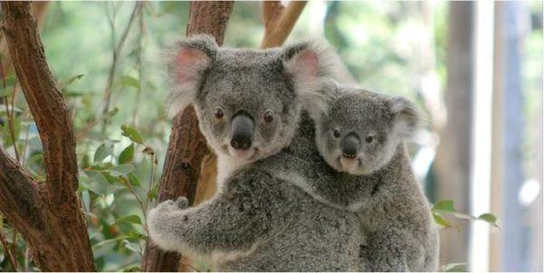 Koala encounters are a must when you visit australia