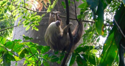 Spotting a sloth at zoo ave animal rescue and preserve in costa rica