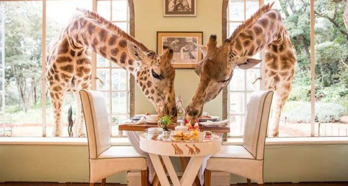 Breakfast with giraffes in kenya should be on every child's bucket list
