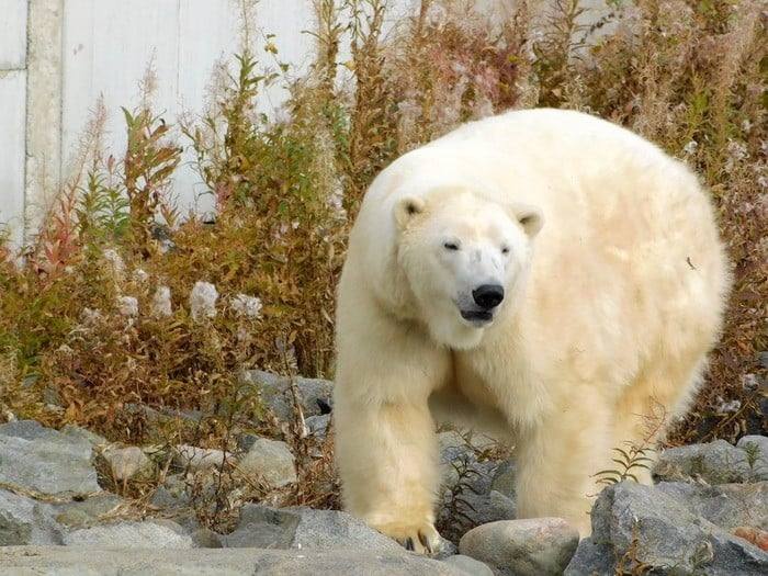 Great views of polar bears at the Ranua Zoo in Finland