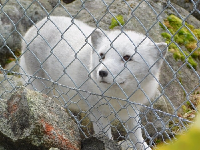An arctic fox at Ranua wildlife park
