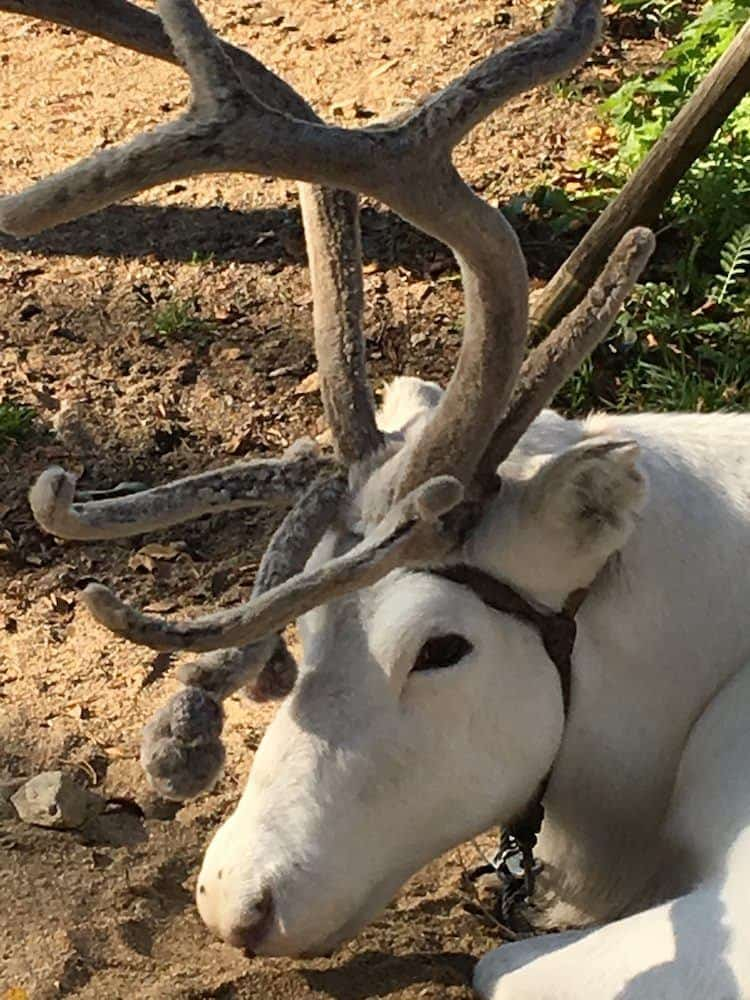 the impressive antlers of a Lapland reindeer