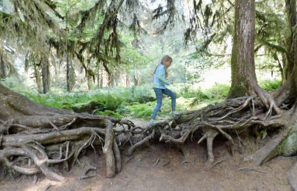 A girl climbs over a giant web of roots in olympic national park,